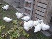 Jeunes coqs nègre soie blanc 10