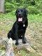 Labrador mâle pour saillie