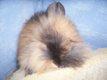 Lapins nains teddy angora traités et vaccinés