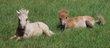 Poneys shetland des Perées