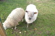2 moutons