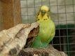 Très belles perruches en âge de se reproduire