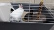 2 lapins nains mâles avec cage et accessoires
