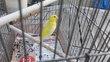 Canari male jaune à 10euro