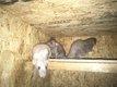 Ratons dove