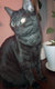 Chat gris tigré