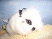 Lapins nains teddy mini angora traités et vaccinés