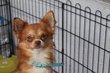 Chihuahuas mâles adultes