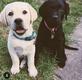 Labrador choco, beige et noir