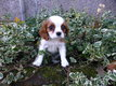 Adorable cavalier king charles     male  blein...
