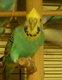 Superbe couple de perruches couleurs huppee a...