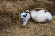 Terrier Tibétain chiots