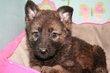 Superbes chiots Berger Allemand gris loup