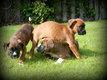 Chiots Boxer