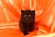 Magnifique chaton femelle noire british shorthair...