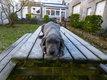 Adorable dogue allemand  femelle