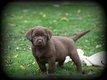 Chiots Labrador chocolat