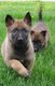 Magnifique chiots berger malinois ,parents...