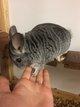 Petite femelle chinchilla