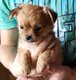 Superbe chiot chihuahua roux