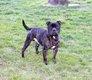 Staffordshire Bull Terrier staffie Lof