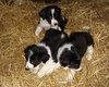 Magnifique chiots border collie