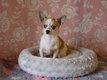 Chiot Chihuahua disponible yeux bleus