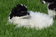 Chiot femelle caniche bicolore à réserver