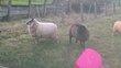 Magnifique agnelles