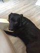Labrador noir 4ans