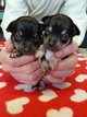 Chiots Chihuahua pure race
