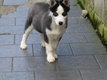 Adorable husky siberien male yeux bleu