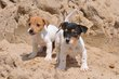 Chiots Jack Russell