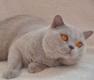 British Shorthair Lilac pour Saillies