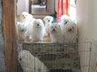 Magnifiques chiots bichon maltais à réserver