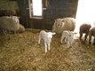 Des tres belles brebis avec leurs agneaux