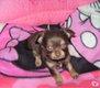 Chihuahua lavande et chocolat