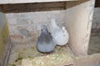 Pigeons de chair