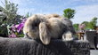 Jeunes lapins nains bélier