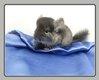 Petite femelle ebony velvet