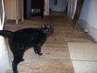 Trouvé chat noir mâle castré avenue Broustin...
