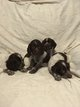 Chiots Epagneul Allemand