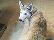 2 Chiots husky sibérien beiges