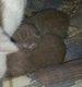 2 British Shorthair lilac mâle