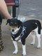 Jack Russell terrier femelle