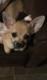 Chihuahua brun fauve couleur loup