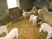 Des tres belles brebis avec leurs agneaux ou...