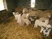 Des tres beaux agneaux et agnelles de 3 mois...