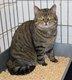 Spa stembert: Vigo chat tigré 3,5 ans