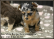 Chiots Chihuahua disponibles - Elevage Familial